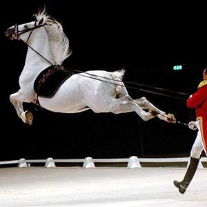 lipizzan-stallion-show-square